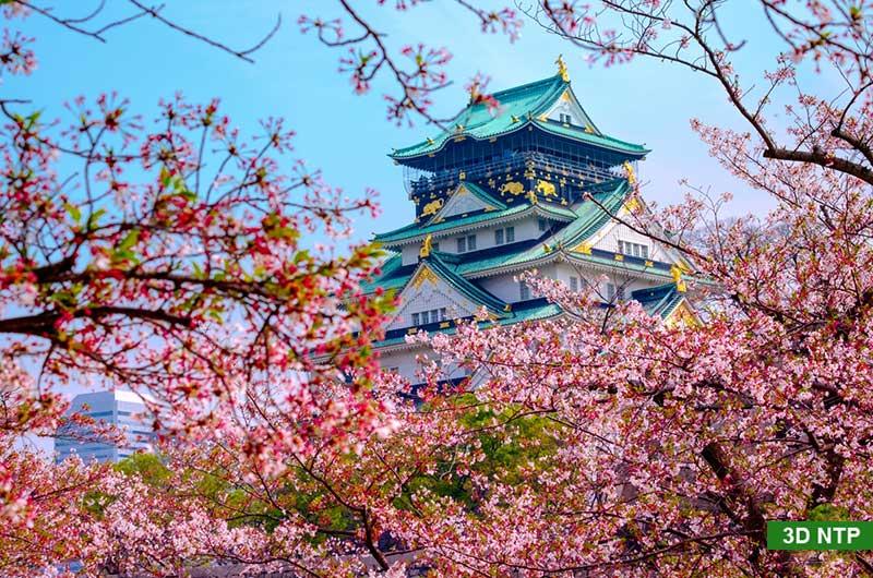 Hoa anh đào - Nhật Bản